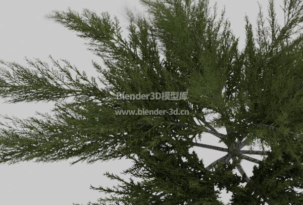 叉子圆柏树灌木
